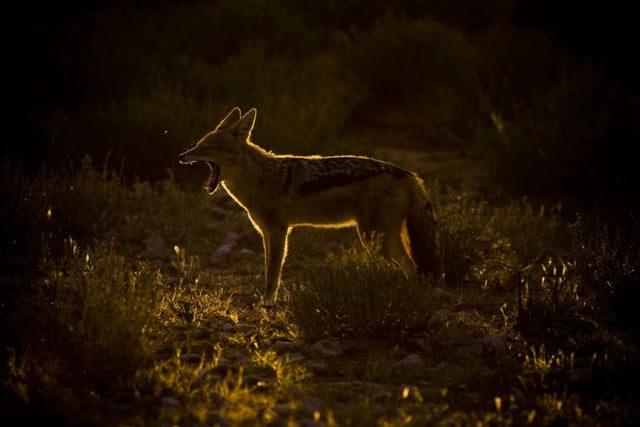 La hora dorada en fotografía: El chacal en esta foto está delineado con una luz de borde dorado, haciéndolo saltar de su fondo.